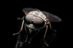 The big eyes fly Stock Image