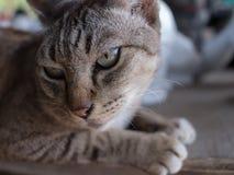 Big Eyes of Grey Cat Stock Photos
