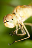 Big eyes on the head of a dragonfly Royalty Free Stock Photos