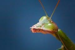 Big eyes mantis Royalty Free Stock Photos