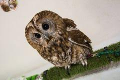Big Eyes Owl Stock Photos