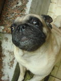 Big eyes Pug Dog Royalty Free Stock Photos