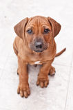 Rhodesian ridgeback puppy. Cute Rhodesian ridgeback puppy on white tiles Royalty Free Stock Photos
