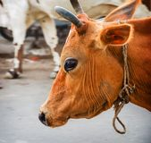 Big Face portrait of Indian cows Royalty Free Stock Images