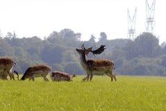 Big fallow deer Stock Image