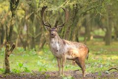 Big Fallow deer stag with large antlers walking in a forest Stock Images