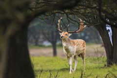 Big Fallow deer stag with large antlers walking in a forest Stock Photo