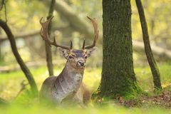Big fallow deer buck with large antlers resting. Close up portrait of a male fallow deer stag, Dama Dama,with big antlers resting on the green forest floor royalty free stock image