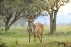 Big Fallow deer stag with large antlers walking proudly in a gre Royalty Free Stock Photos