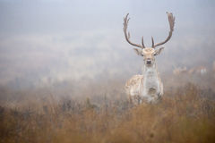 Big Fallow stag. In heavy fog Stock Photos