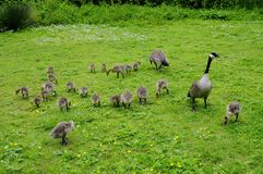 A big family of Canada geese Royalty Free Stock Image
