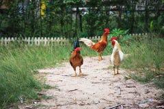 Chicken farm animal family freedom stock photos