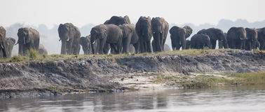 Big family of elephants approaching river Royalty Free Stock Photography