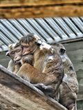 Big family monkey Royalty Free Stock Photo