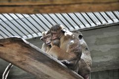 Big family monkeys macaques Stock Images