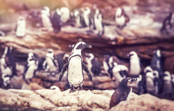 Big family of penguins. Many cute little animals on the rocks, flightless birds on the stony bank of Atlantic Ocean, beautiful nature of a South Africa Stock Photography