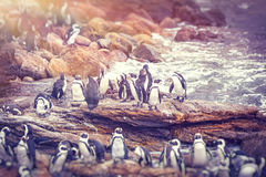Big family of penguins. Many cute little animals on the rocks near the water, flightless birds on the stony bank of Atlantic Ocean, beautiful nature of a South Royalty Free Stock Photos