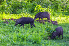 Big family of Wild boar(Sus scrofa) Royalty Free Stock Photo