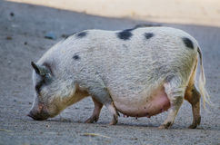 Big farm pig Stock Image