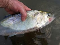 Big Fat American Shad From the Potomac Royalty Free Stock Images
