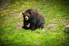 Fat bear Royalty Free Stock Photo