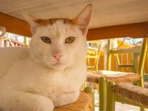 Big fat cat portrait on a chair Stock Photography