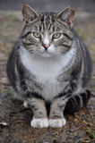 Big fat cat Royalty Free Stock Photography