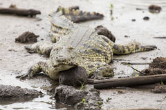 A big fat crocodile resting on the mud at a pond. In nature artistic conversion Stock Images