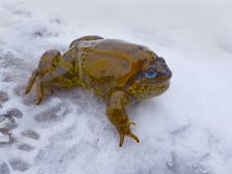 A big fat frog, a toad with blue eyes lies on the snow and smiles. Stock Image