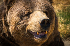 Big Fat Kodiak. Kodiak bear at Olympic Game Farm Stock Image