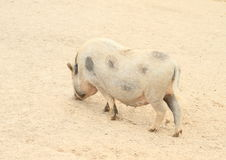 Big fat pig Royalty Free Stock Photo