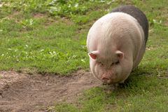 Big fat pig Stock Image