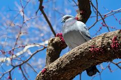 Big fat pigeon standing on a tree branch in New York City Stock Photo