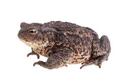 Big fat toad Royalty Free Stock Photo
