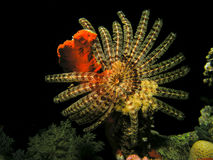 Big feather star fish. On coral head, night dive Stock Photo