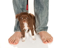 Big feet small doggy. Tiny chihuahua puppy standing at his boss' large feet Stock Photo