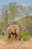 Big fella. Large bull elephant in Kruger National Park, South Africa Royalty Free Stock Image