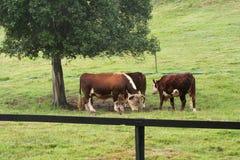 Big Fella. Huge bull grazing Royalty Free Stock Photography