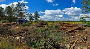 Big felling of the forest. Cut trees lie on the ground next to the tractor on the background of the blue sky