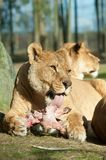 Big female African lion eating Royalty Free Stock Photography