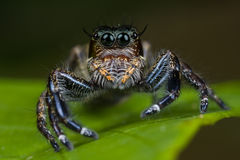 Big female jumping spider Royalty Free Stock Image