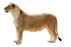 Big female lion. Stands isolated on the white Stock Photos