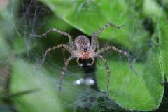 big female spider: wasp mimicry Stock Photo