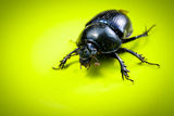 Big female stag-beetle Royalty Free Stock Photo