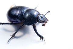 Big female stag-beetle Royalty Free Stock Image