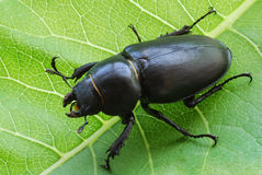 Big female stag-beetle on leaf Stock Photos