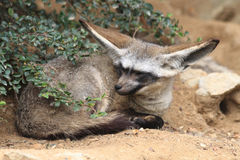 Big fennec is resting Royalty Free Stock Photography
