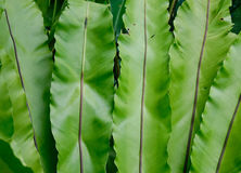 Big fern leaves at the Botanic Gardens in Singapore Stock Images