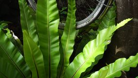 Big fern leaves stock footage