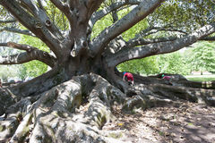 Ficus Tree. Roots of a very old ficus tree in the Botanical Garden of Auckland, N.Z., are the perfect playground for kids stock photography